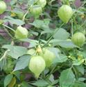 Picture for category Tomatillo