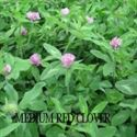 Picture of Medium Red Clover