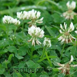 Picture of White Dutch Clover