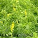 Picture of Yellow Blossom Sweet Clover