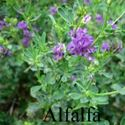 Picture of Alfalfa, Northern Hardy