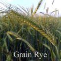 Picture of Grain Rye