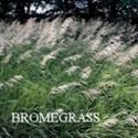 Picture of Brome Grass