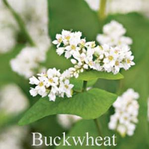 Picture of Buckwheat