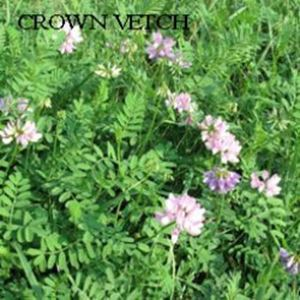 Picture of Crown Vetch