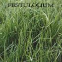 Picture of Spring Green Festulolium