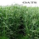 Picture of Oats, Buck Forage