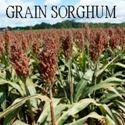 Picture of Grain Sorghum