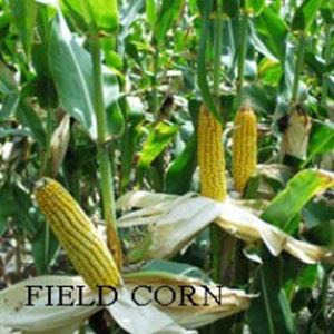 Picture of Field Corn