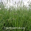 Picture of Orchardgrass, Potomac