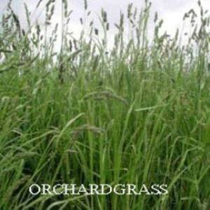 Orchardgrass lawn
