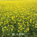 Picture of Rape, Dwarf Essex  (Canola)