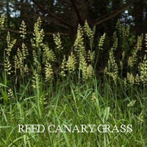 Picture of Reed Canary Grass