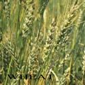 Picture of Cover Crop Wheat
