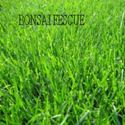 Picture of Turf-Type Fescue, Bonsai
