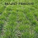 Picture of Fescue, Hard