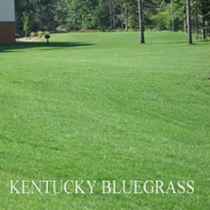 Picture of Kentucky Bluegrass