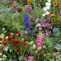 Picture of Wildflowers, Annual Mixture