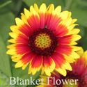 Picture of Blanket Flower (Gaillardia)