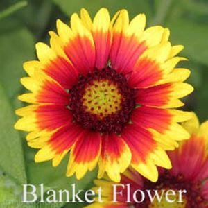 Blanket flower gaillardia debruyn seed store blanket flower gaillardia mightylinksfo