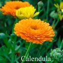 Picture of Calendula, Pacific Beauty
