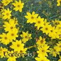 Picture of Coreopsis, Lanceolata