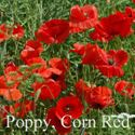 Picture of Corn Poppy, Red
