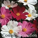 Picture of Cosmos, Sensation