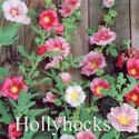 Picture of Hollyhock, Indian Summer