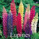 Picture of Lupine, Russell Hybrid