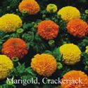 Picture of Marigold, Crackerjack