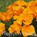 Picture of California Poppy, A. Orange