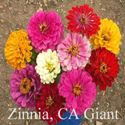 Picture of Zinnia, CA Giant