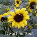 Picture of Sunflower, Dwarf Sunspot