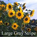 Picture of Sunflower, Large Gray Stripe