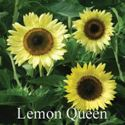 Picture of Sunflower, Lemon Queen