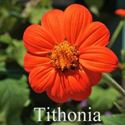 Picture of Mexican Sunflower, Tithonia