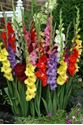Picture for category Gladiola Bulbs