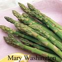 Picture of Asparagus, Mary Washington