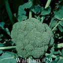 Picture of Broccoli, Waltham #29
