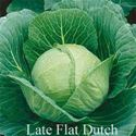 Picture of Cabbage, Late Flat Dutch