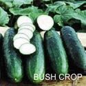 Picture of Cucumber, Bush Crop