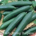 Picture of Cucumber, Early Spring Burpless