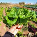 Picture of Lettuce, Buttercrunch