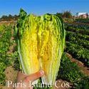 Picture of Lettuce, Paris Island Cos Romaine
