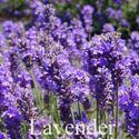 Picture of Lavender, Vera