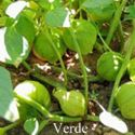 Picture of Tomatillo, Verde