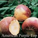 Picture of Rutabaga, American Purple Top