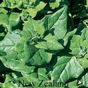 Picture of Spinach, New Zealand