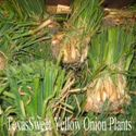 Picture of Texas Sweet Onion Plants, Yellow
